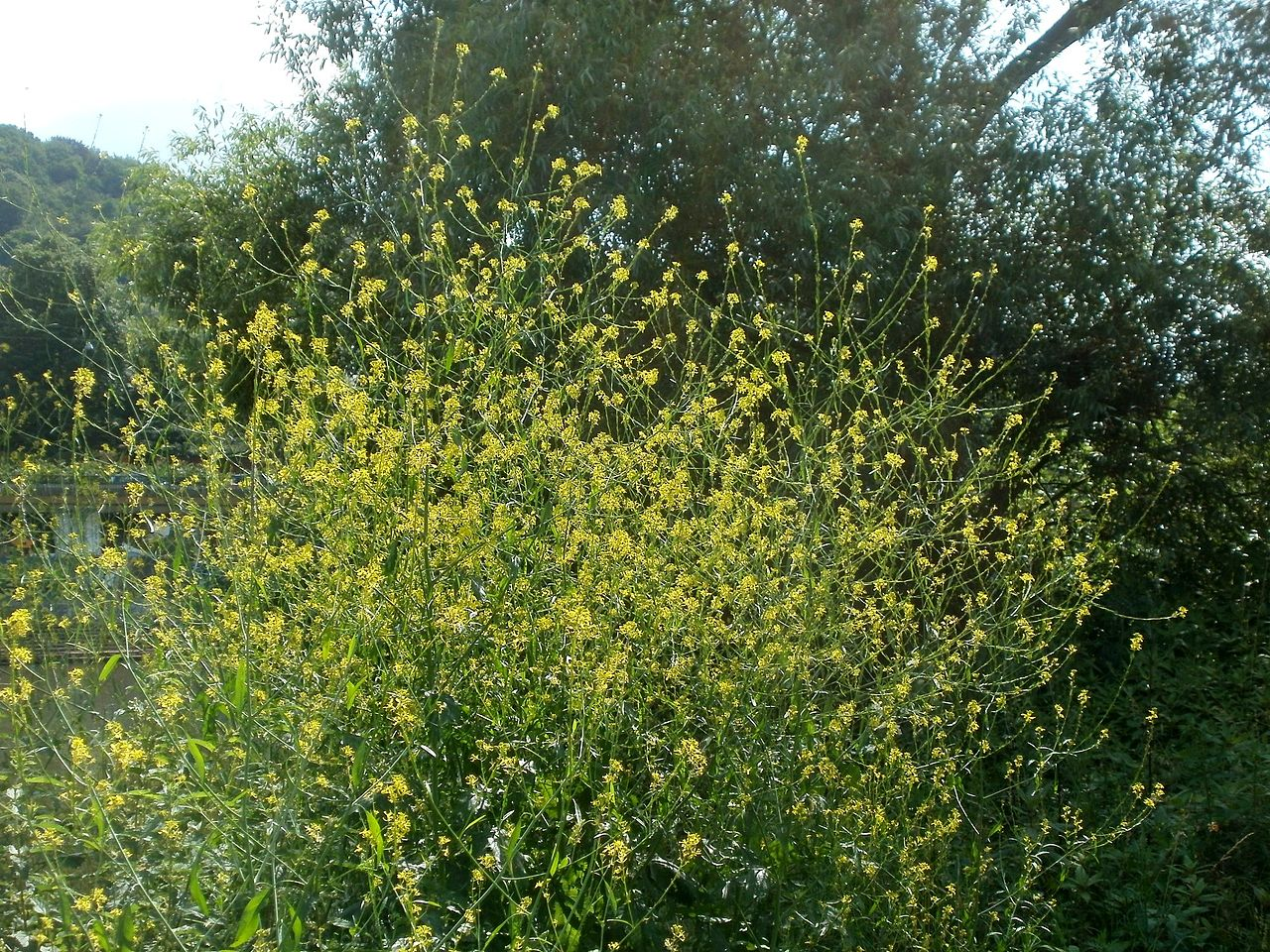 Black mustard (Brassica nigra) is an annual herbaceous plant that originated in the Middle East
